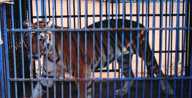 Akef-caged-tiger-SCS-734x375